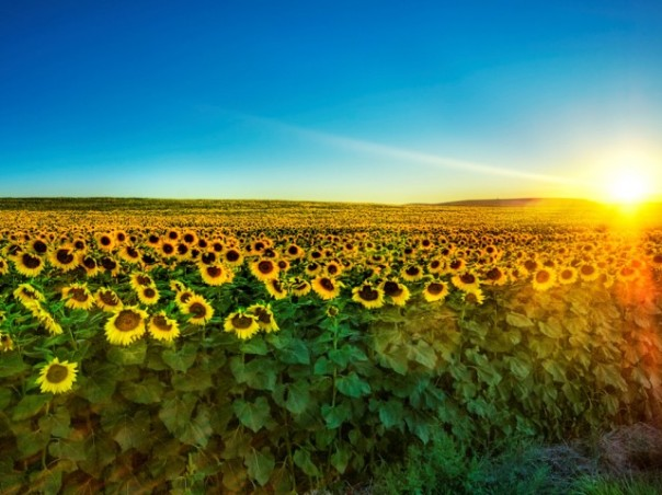 sunflowerwallpaper.jpg