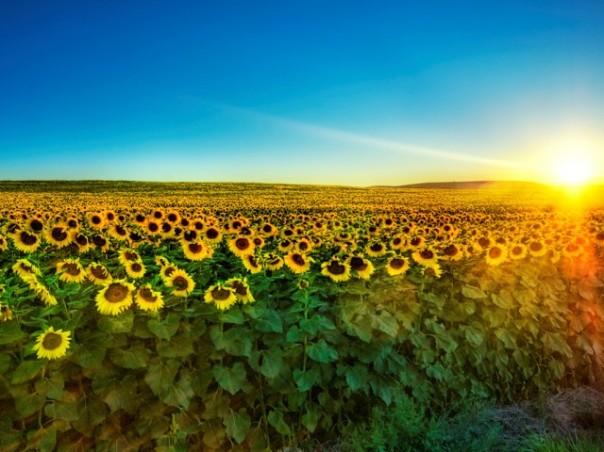 sunflowerwallpaper.jpg
