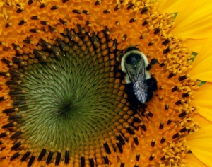 barb sunflower bee very close