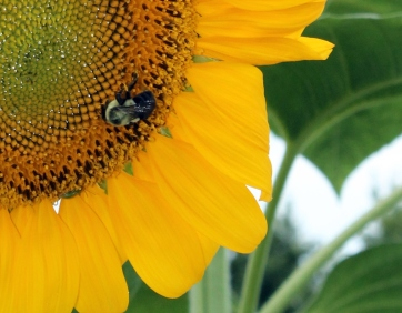 sunflower and bee clos up Barbs