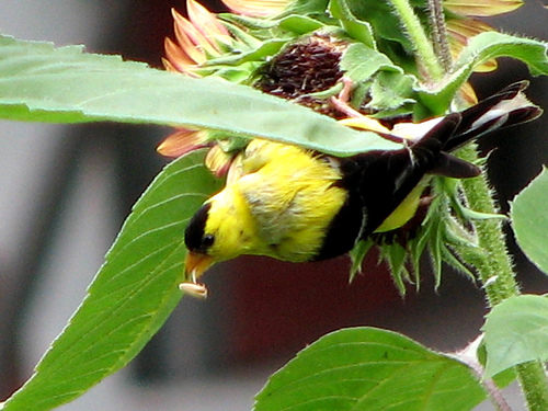 goldfinch on sunflower flickr