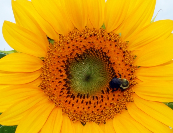 barbs bee and round sunflower