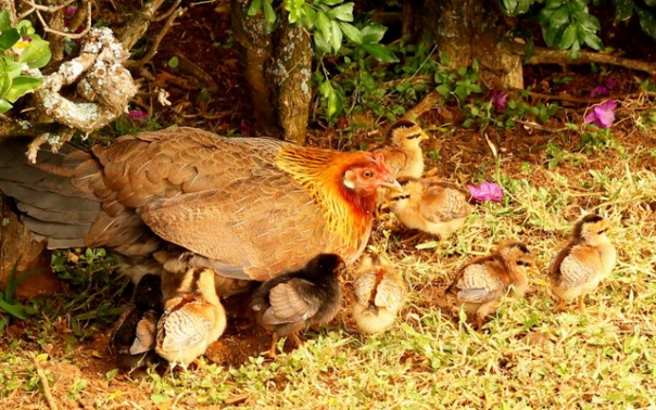 ih chickens7 (2)