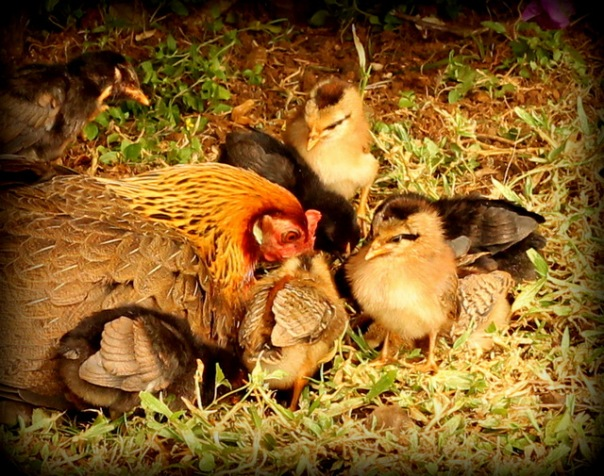 ii chickens8 (2)