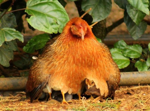 ij chickens1 (2)
