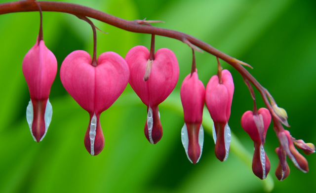 bleeding heart by heather johnson