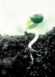 sunflowersproutNSA-001
