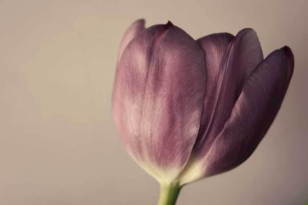 Martine Lavender Tulip