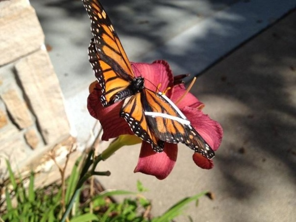 KCCI-repaired-butterfly-JPG